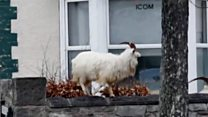 'Curious' goats take over empty seaside town