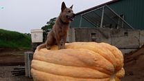 'We get a laugh out of growing giant pumpkins'