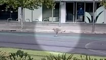 Kangaroo hops through empty downtown Adelaide
