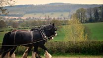 Coronavirus: Shire horses become lockdown Twitter stars
