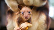 Chimbu the tree kangaroo helps save his wild cousins