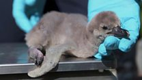 Penguin chicks and other stories you may have missed thumbnail