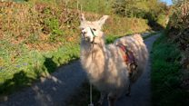 Can't get to the shops? No prob-llama
