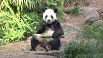 Coronavirus forces Canadian zoo to return pandas