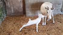 Baby white reindeer brings cheer to lockdown farm