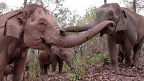 Elephants flee to survive coronavirus starvation