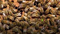How honeybees perform queen duets