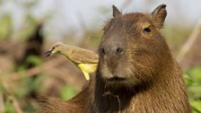 Capybara and a cattle tyrant