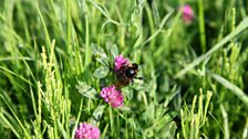 Short-haired bumblebee on red clover