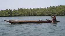 Gambian oyster harvester in the mangroves