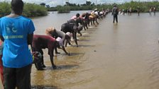 Gambian oyster harvesters planting mangrove seeds