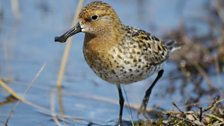 Adult male Spoon-billed Sandpiper