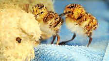 Spoon-billed sandpiper chick born at Slimbridge 2012