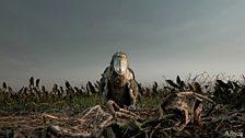 A shoebill chick