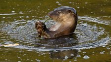 The European otter (Lutra lutra)