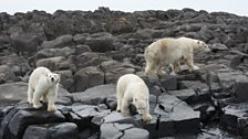 Polar bears stranded