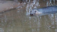 Grey Seal in Bewdley