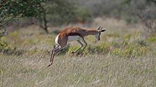 A Springbok 'pronks'