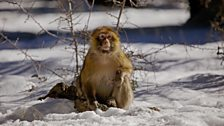 A Barbary macaque in the Atlas mountains