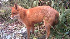 Fox close