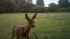 Roe Deer close