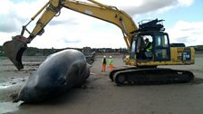 A digger was brought in, in the hope that they could save the whale