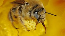 Honey bee collecting pollen and nectar