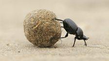 African dung beetles