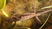 JH newts2.jpg