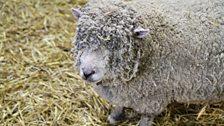 School Sheep