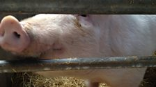 Genetically Edited Pig