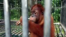 Sumatran orangutan in quarantine