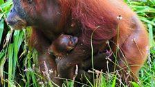 Jersey orangutan Dana and her baby