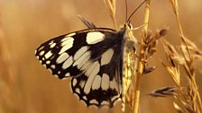 Marbled white butterfly (female)