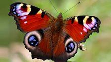 Peacock butterfly (male)