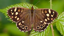 Speckled wood butterfly (female)
