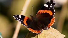 Red admiral butterfly (female)