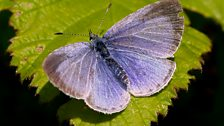Holly blue butterfly (female)