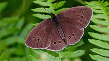 Ringlet butterfly (male)