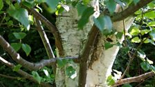 Trunk of a Silver Birch