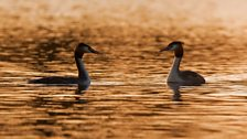 A pair of courting great crested grebes