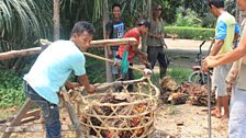Weighing Palm oil branches