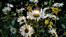 JULY: Daisy Sunburst by David Jackson