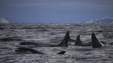 Killer Whale Pod