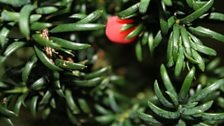 Yew And Berry