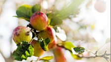 The apples. Photo: Bill Bradshaw