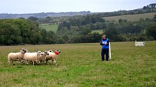 These sheep seem unfazed as they pass Scotland's Ian Brownlie