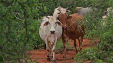 Borana cattle in the thornscrub