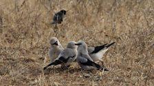 Ethiopian Bush-crow family party