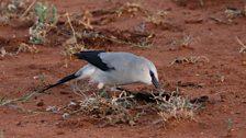 Foraging Ethiopian Bush-crow